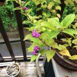 紫式部、大雨の中で草食べるチビ